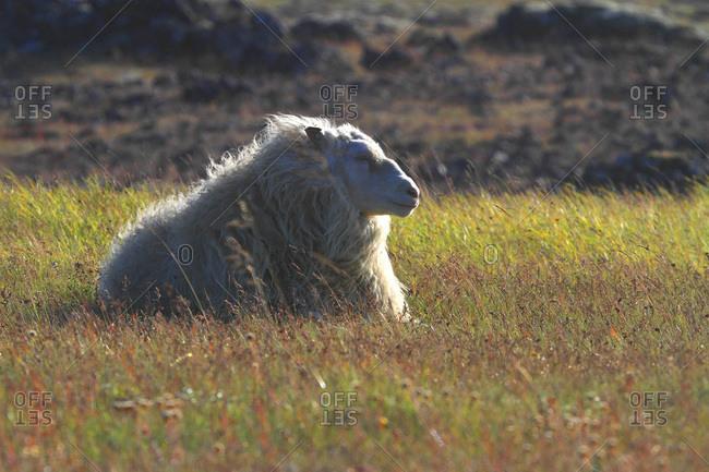 Iceland, Sudurland. Sheep.