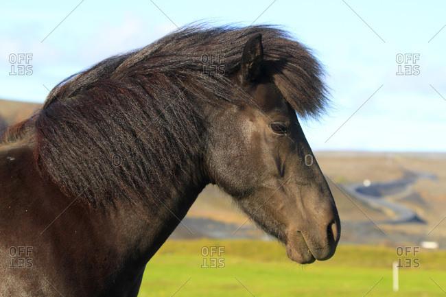 Islande, Sudurland. Island horse.