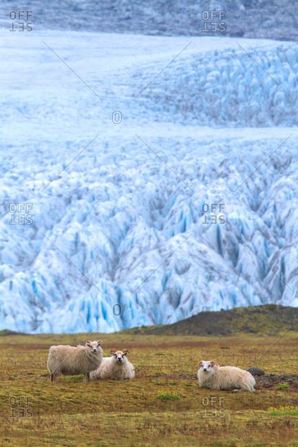 Iceland, Sudurland. Fjallsarlon lagoon. Sheeps