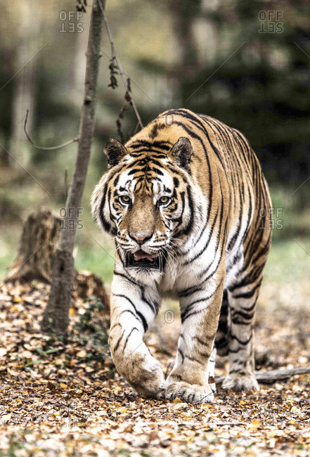 Siberian tiger in the wood