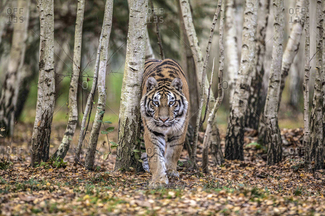 Siberian tigerin walking in  the wood