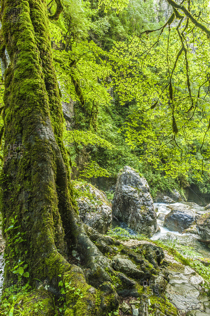 France, Pyrenees, Basque Country, Haute-Soule, Gorges de Kakuetta.Trunk with moss at the edge of the torrent