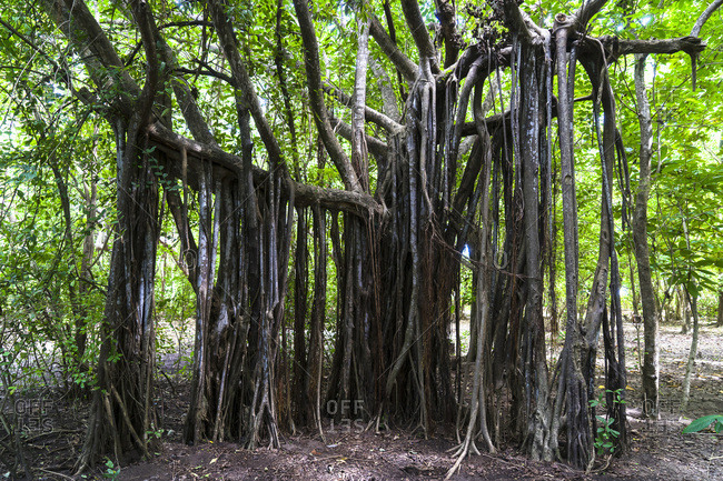 Ficus benghalensis, Cap Chevalier, Martinique, France