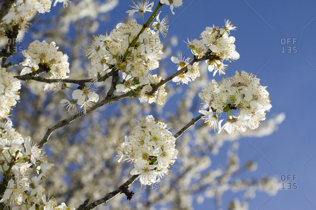 Close-up on a plumtree blossom.