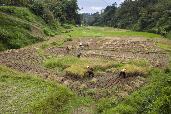July 30, 2010: Harvesting of rice near Bukittinggi and manual separation of rice grains and ergots empty, Bukittinggi, Sumatra, Indonesia