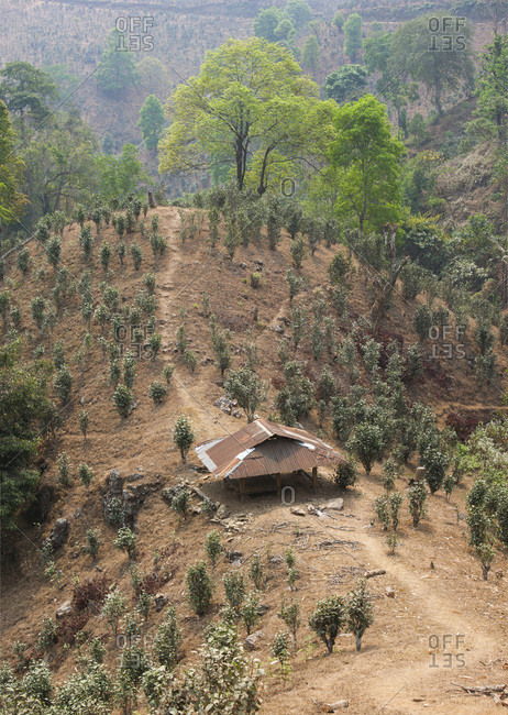 Corrugated iron shelter and tea plantation near Namshan, Burma