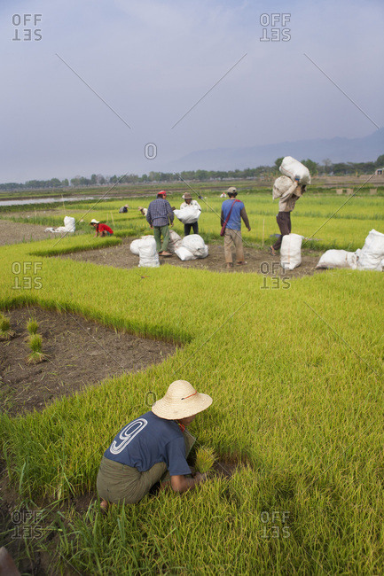 Child working in a rice paddy field, Nyaung Shwe, Burma