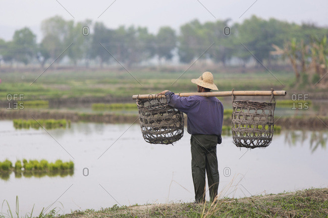 Man with an empty yoke looking at rice fields, Nyaung Shwe, Burma
