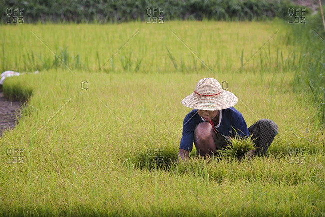 March 15, 2010: Child working in a rice paddy field, Nyaung Shwe, Burma