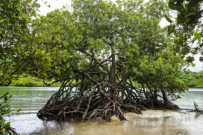 mangrove tree, trou cochon, Martinique, France