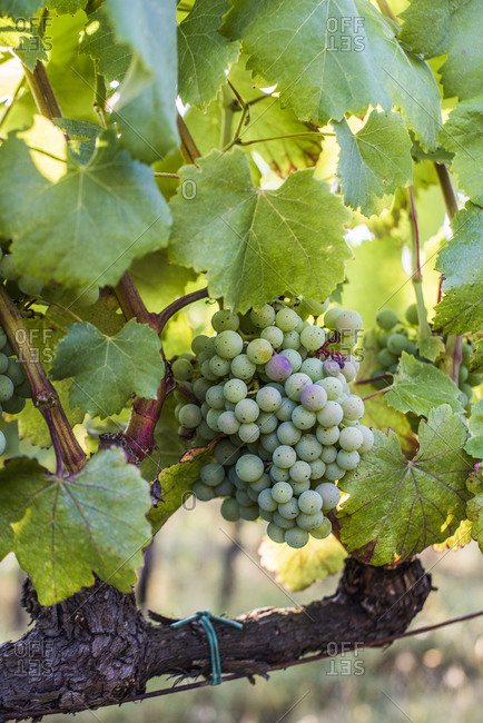 Wine grapes in a vineyard, Tuscany, Italy