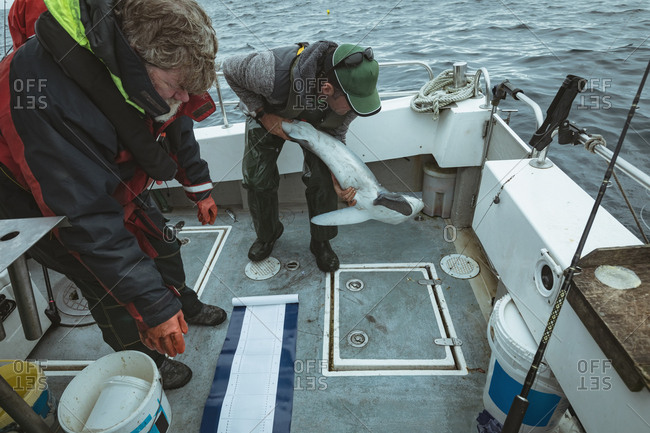 Fishermen trying to settle down shark fish in boat