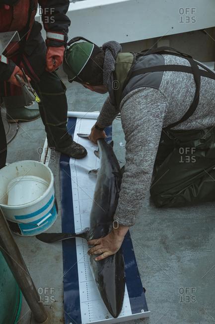 Fishermen measuring length of shark fish on measurement mat