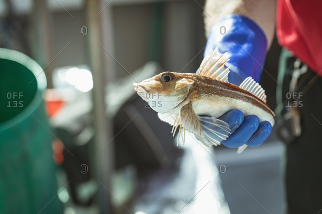 Close-up of fisherman holding fish