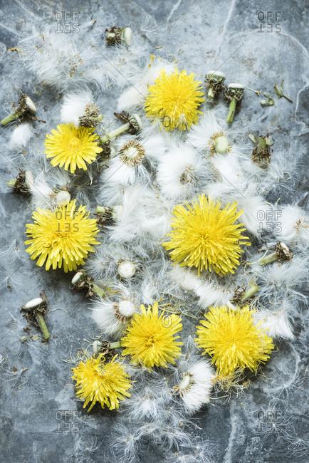 Dandelion flowers and dandelion seed heads