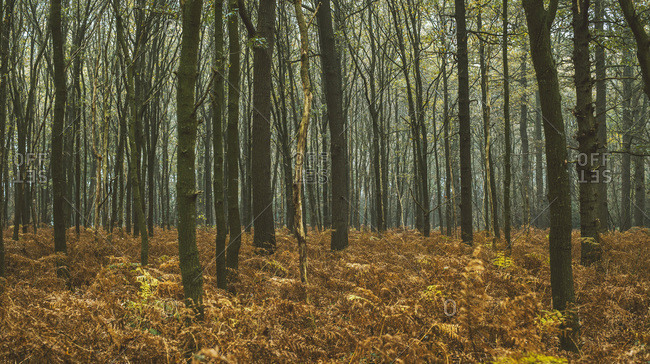 Tree trunks and brown colored ferns in misty autumn forest.