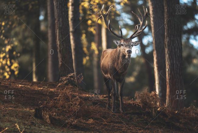 Red deer stag (cervus elaphus) on slope in autumn forest.