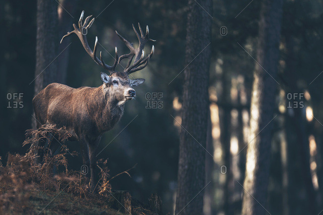 Red deer stag (cervus elaphus) in autumn pine forest.