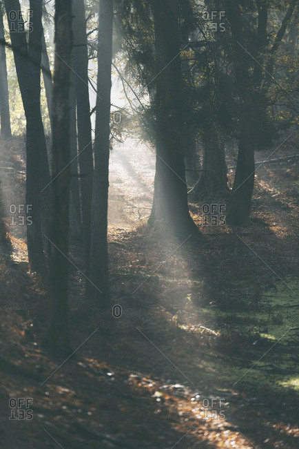Rays of light through trees in foggy autumn forest.