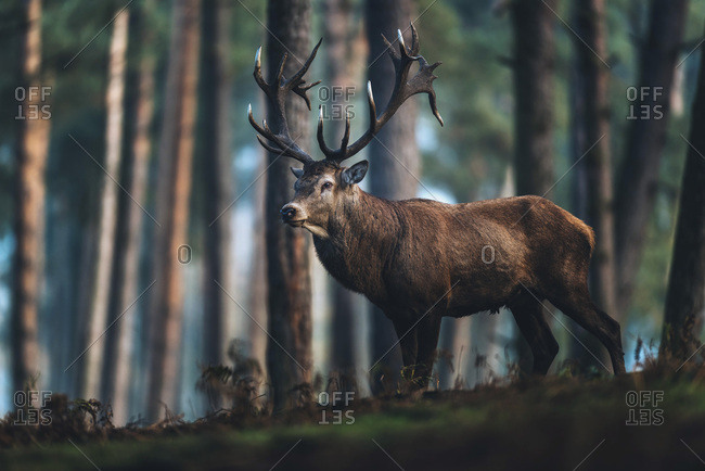 Red deer stag standing on hill in autumn pine forest. Side view.