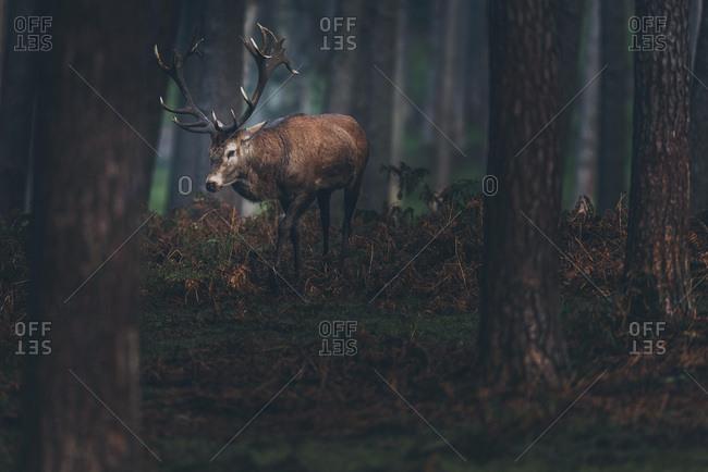 Red deer stag walking between brown colored ferns in dark autumn forest.