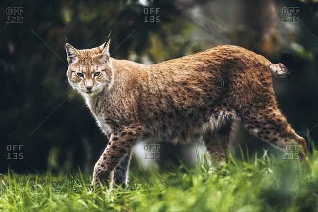 Alert eurasian lynx (lynx lynx) walking in grass of forest. Looking towards camera.