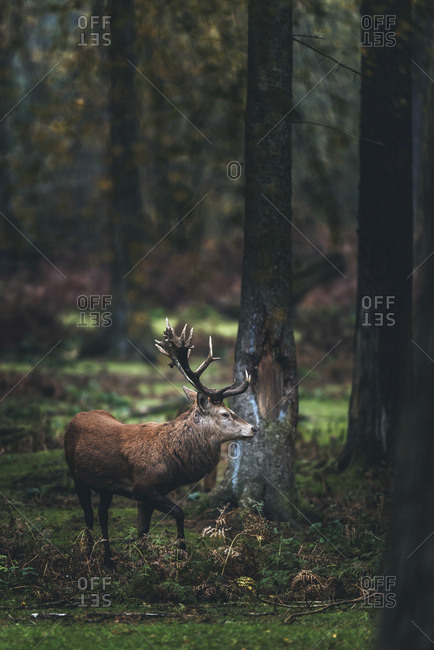 Red deer stag walking in fir autumn forest.