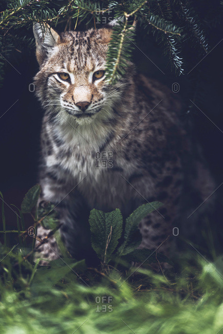 Young eurasian lynx sitting under fir tree looking towards camera.