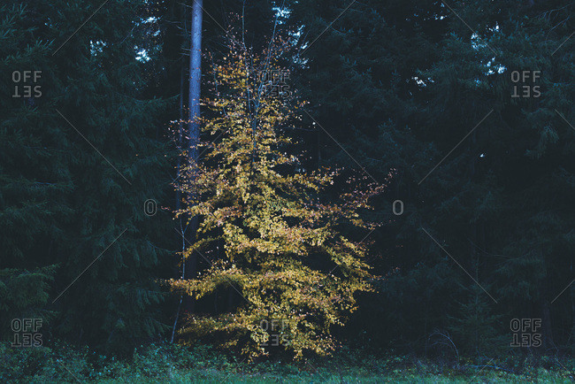 One yellow colored autumn tree between dark fir trees.