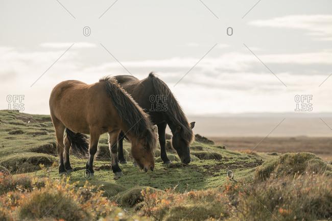 Wild horses grazing in the Dimmuborgir area in Iceland