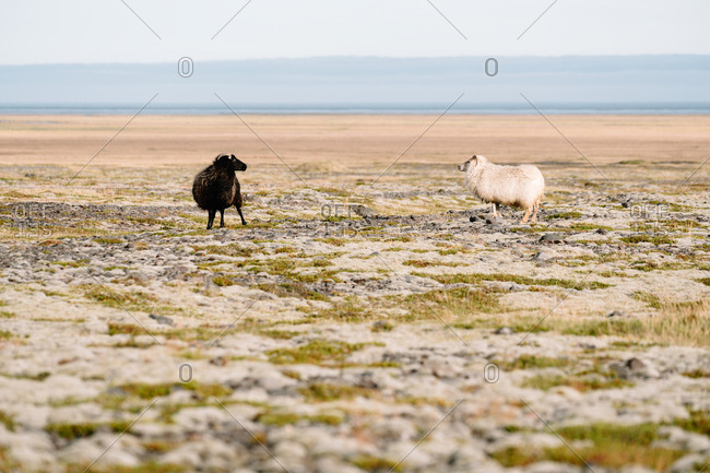 Nordic sheep face each other in rural Iceland