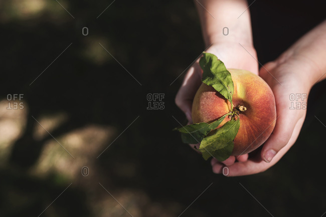 Hands holding a fresh picked peach