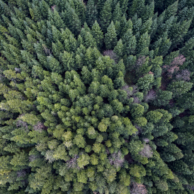 Aerial view of an autumn forest filled with evergreens