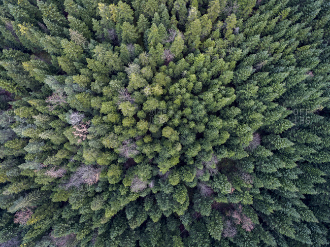 Autumn forest filled with evergreens from above