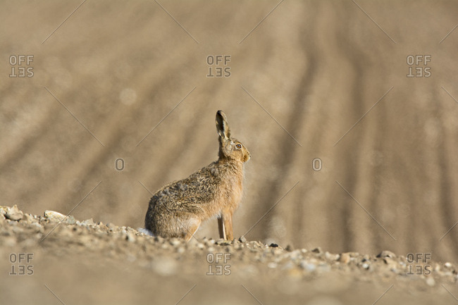 Brown Hare (Lepus europaeus) in in the wild, North Norfolk