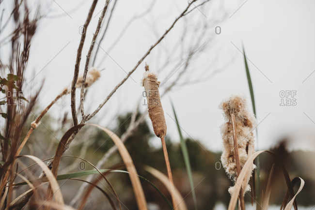 Spikes of cattail plants