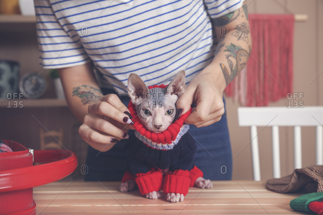Woman putting pullover on her Sphynx cat at home