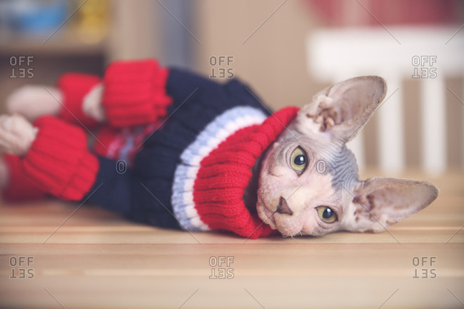 Portrait of Sphynx cat wearing pullover