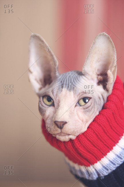 Portrait of Sphynx cat wearing pullover