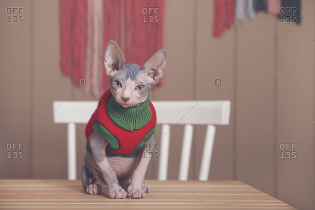 Portrait of Sphynx cat on table wearing pullover