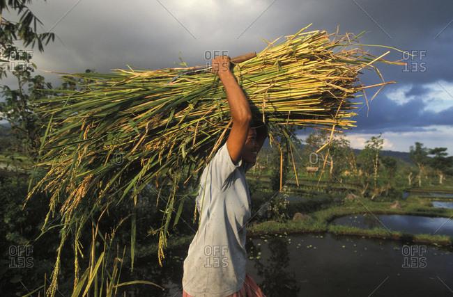 June 9, 2017: Plantation Rice