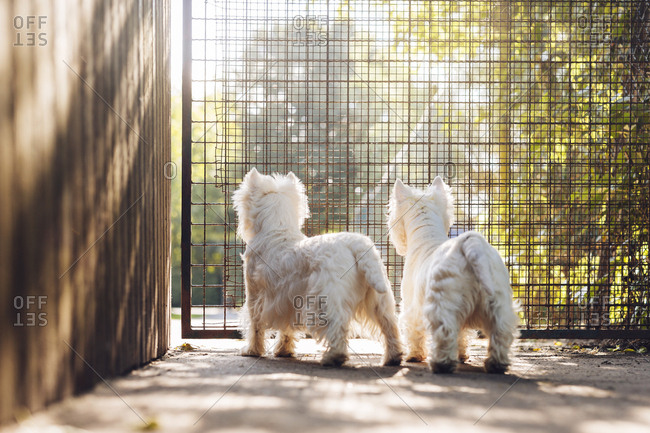 Rear view of two dogs looking through fence
