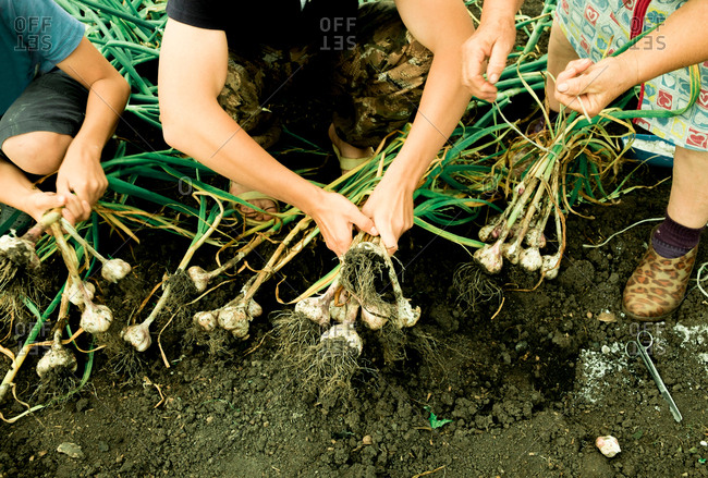 Mother and sons pulling onions from ground, low section, Ural, Sverdlovsk, Russia, Europe