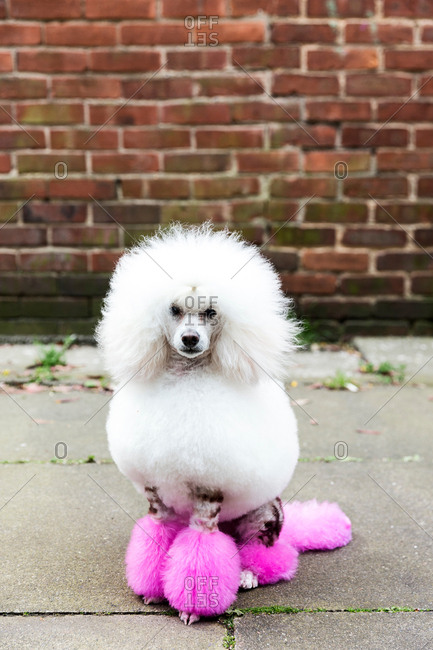 Animal portrait of groomed dog with dyed shaved fur, looking at camera