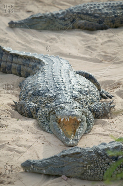 Open mouthed crocodiles on wildlife park beach, Djerba, Tunisia