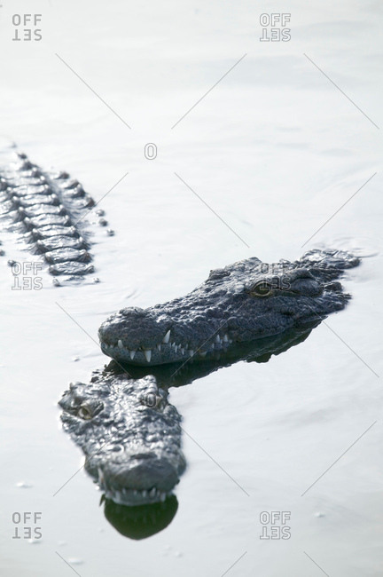 Two crocodiles in wildlife park lagoon, Djerba, Tunisia