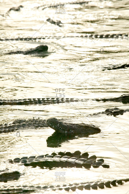 Group of crocodiles in wildlife park lagoon, Djerba, Tunisia