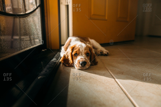 Welsh Springer Spaniel lying on floor by front door