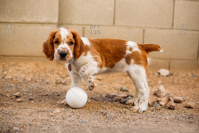 Welsh Springer Spaniel playing outdoors with a ball