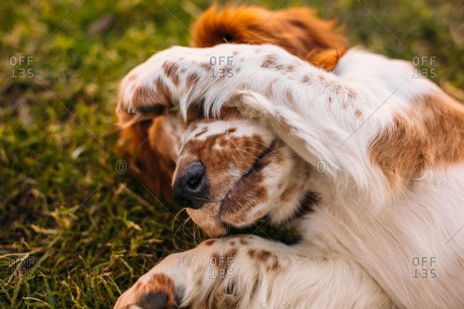 Welsh Springer Spaniel in grass covering face